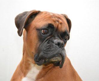 Nombres-para-perros-boxer-opt-1